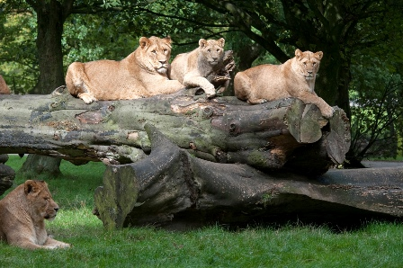 Knowsley Safari Park inc. Safari Drive